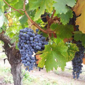 Discover Chilean Wine