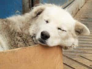 Chilean Street Dog