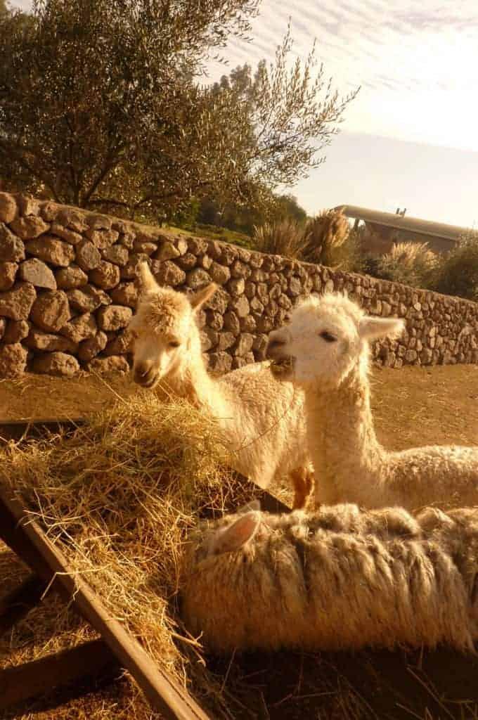 Alpacas at Emiliana Winery